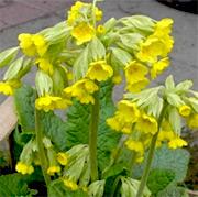 Schlüsselblumen (Pflanzen) Primula veris